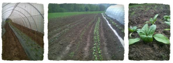 2013-05-04-tomates et epinards